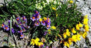 Kapitel 7: Staunen über die Bergblumenpracht beim Aufstieg ins Valle Antolina
