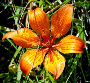 Romanteil 2012, Seite 166 Paolina schickt Federica zum Nachdenken in die Weite des ligurischen Apennin, sie bestaunt wildwachsende Feuerlilien