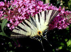 Impression Romanteil 2012, Seite 139 Schmetterling in Federicas Garten, der sie zum Malen inspiriert